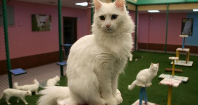 En güzel Van kedisi o