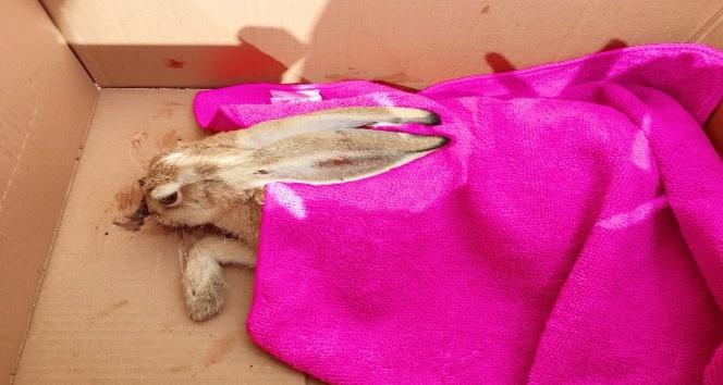 Yaralı tavşana ilk müdahale aile sağlığı merkezinde yapıldı
