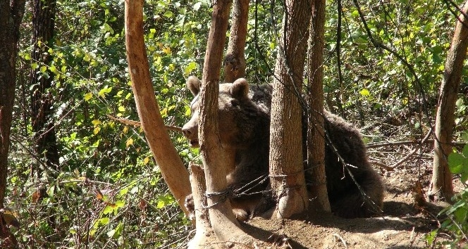 Karabük'te dikenli tellere takılan ayı kurtarıldı