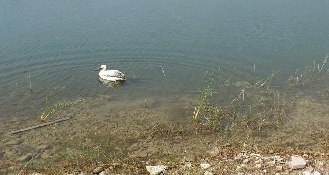 Yaralı bulunan pelikan, doğaya bırakıldı