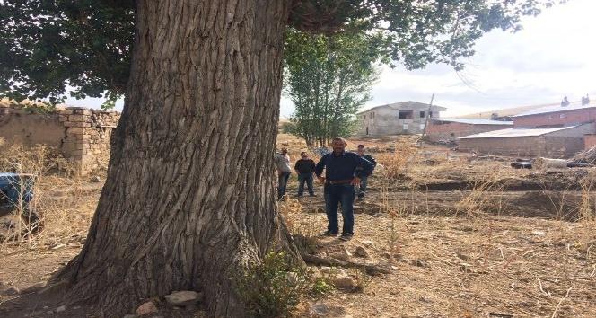 300 yıllık kavak ağacı görenleri şaşırtıyor