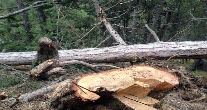 Tosyada kestiği ağaç üstüne düşen adam öldü