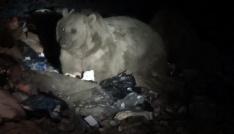 Boz ayılar Sarıkamışta