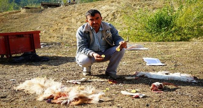 Sürüye saldıran ayılar, hayvanları parçaladı