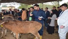 Niksarda genç çiftçilere damızlık düve dağıtıldı