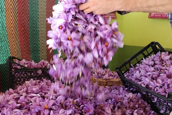 Dünyanın en pahalı bitkisinde hasad başladı