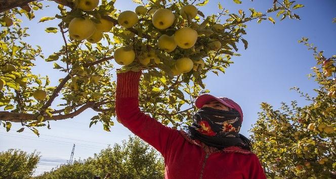 Ahlatta elma hasadı başladı