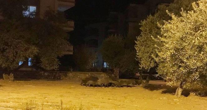 Milasta domuz sürüsü şehre indi