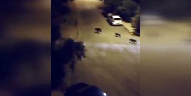 Milas'ta domuz sürüsü şehre indi