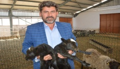 Ukraynadan getirdiği koyunlar yılda 8 yavru veriyor