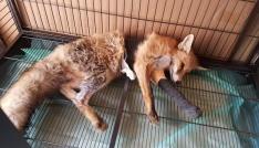 Ayağı kırılan Kızıl Tilkiye plak takılarak tedavi altına alındı