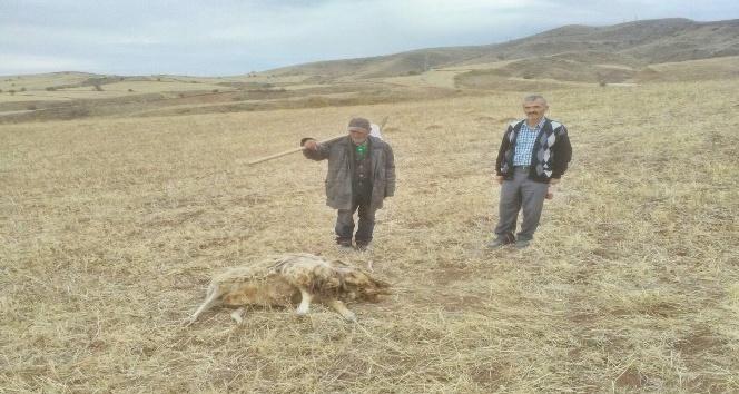 Sungurlu'da kurtlar koyun sürüsüne saldırdı