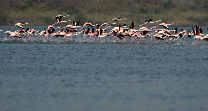 Flamingolar Türkiyeyi sevdi