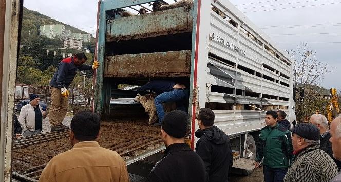 Romanya'dan gelen 148 koyun Amasralılara teslim edildi