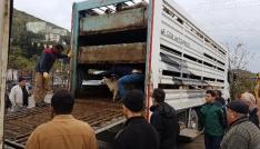 Romanyadan gelen 148 koyun Amasralılara teslim edildi