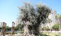 Bin 500 yıllık zeytin ağacı görenlerin ilgi odağı oluyor |Mersin haberleri