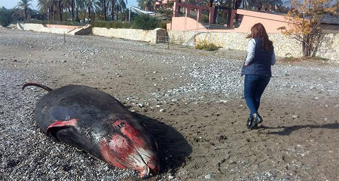 Antalyada kıyıya 5 metrelik ölü balina vurdu