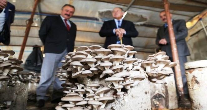 Kayın mantarı üretim alanlarını inceledi