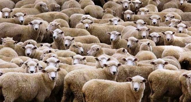 Genç çiftçilere koyun dağıtıldı