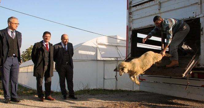 Yalova'da 14 genç çiftçiye 518 koyun dağıtıldı
