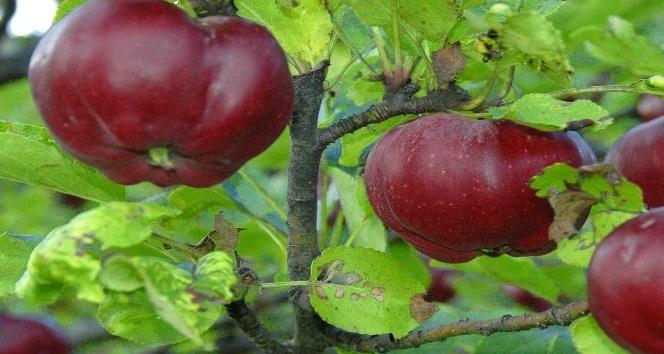 İçi dışı kırmızı Posof elmasına coğrafi işaret tescili