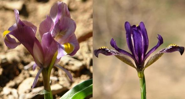 Hakkari'de iki yeni süsen bitkisi keşfedildi