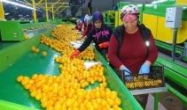 Rusya kapıları açtı mandalina ihracatı başladı