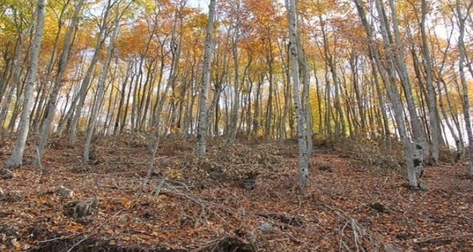 Osmaniyede meşe ve kayın ormanları bakıma alındı