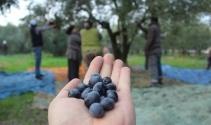 Sezonu 11 lira 75 kuruştan açan zeytin çiftçiyi güldürdü