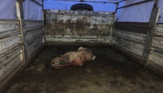 Köpek dövüştürenlere ceza