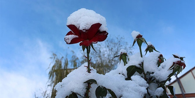 Kırmızı güllerin üzerine yağan kar kartpostallık görüntü oluşturdu