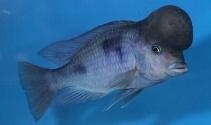 Bu balığı görenler hayrete düşüyor