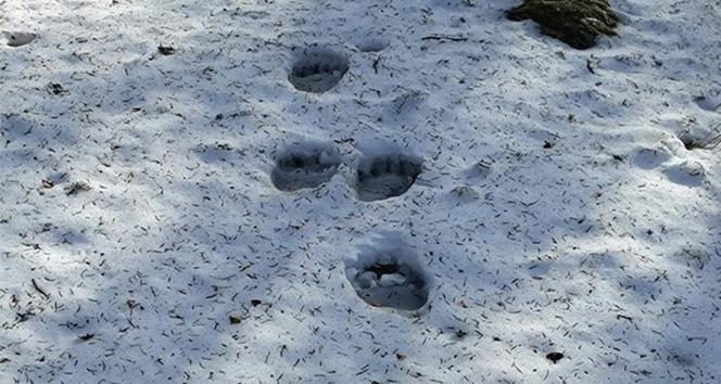 Keşif yapan yürüyüş ekibinin önüne ayı çıktı