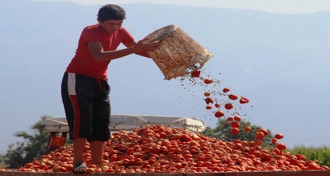 Manisa salçalık domates üretiminde ikinci sırada
