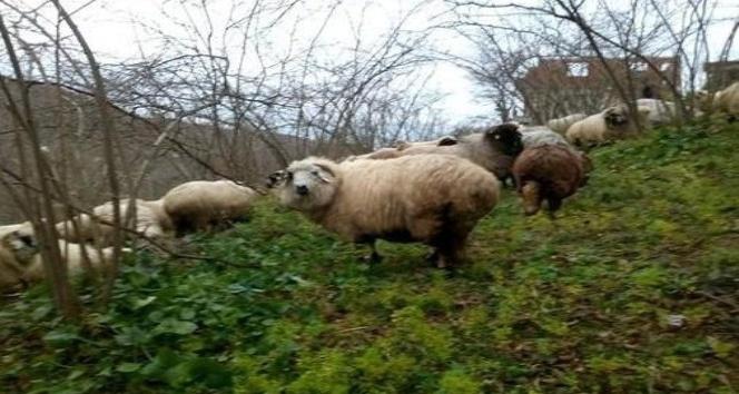 Of, Artlı ve Çepni koyun tiplerini, OMÜ'lü akademisyenler araştıracak