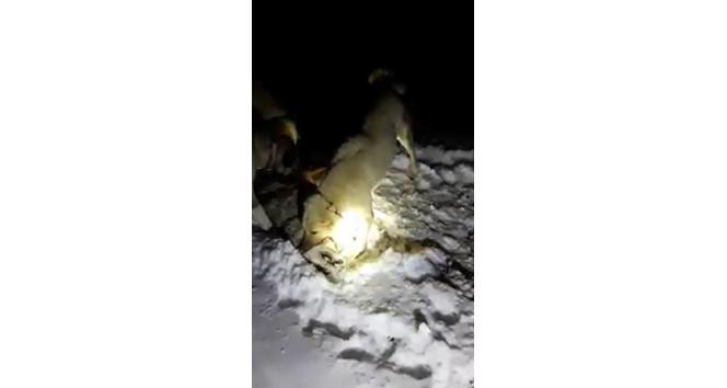 Sürüye saldıran kurdu, kangal köpekleri boğdu