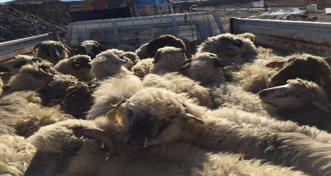 Sungurluda genç çiftçilere 210 koyun hibe edildi