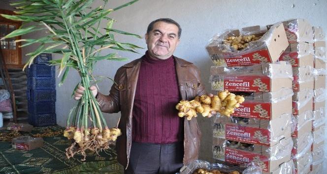 Gazipaşalı üretici Türkiyenin ilk zencefil üretimini yaptı