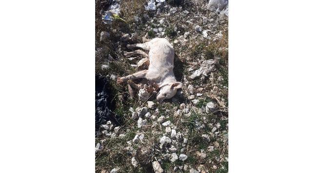 Karamanda kedi ve köpek ölümleri