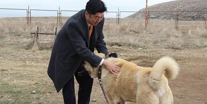 Japon patronun Kangal köpeği sevgisi