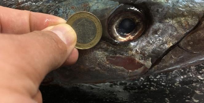 Bodrum'da yakalanan 4 kiloluk turna balık, meraklılarının dikkatini çekti