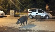 Tunceli'de yaban domuzları, şehre inmeyi alışkanlık haline getirdi