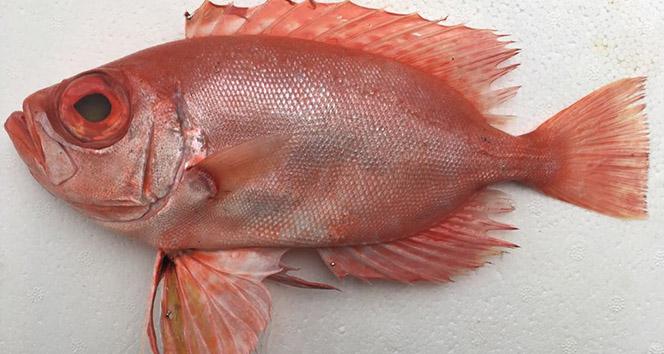 Mersin Dana Adası açıklarında ilk kez Manda Göz balığı yakalandı
