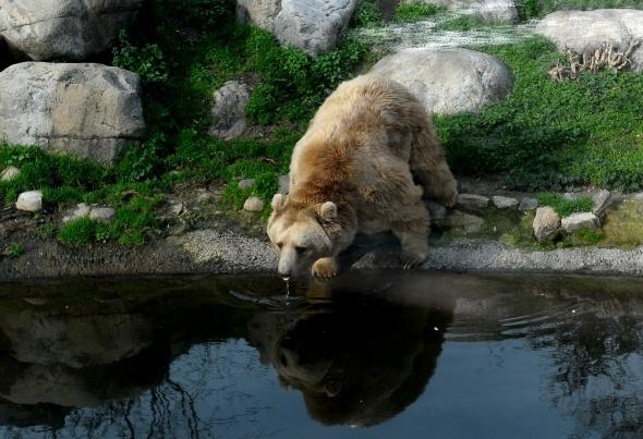 Ayılar kış uykusuna yatmayı unuttu