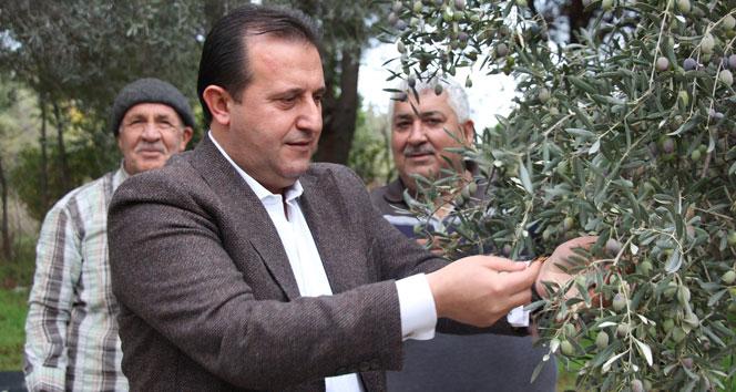 Başkan Soylu, zeytin topladı