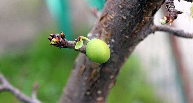 İklim değişikliği kendini gösterdi, Kocaelinde ağaçlar meyve verdi