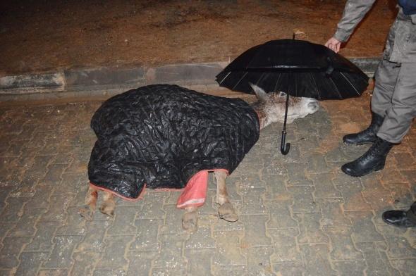 Jandarma, yaralı eşek ıslanmasın diye şemsiye tuttu