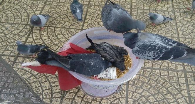 Samsun'da güvercinlerin yem savaşı
