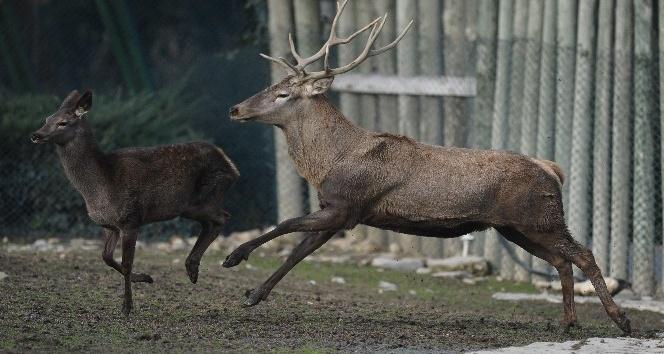(Özel) Yazdan kalma günler kızıl geyikleri de etkiledi