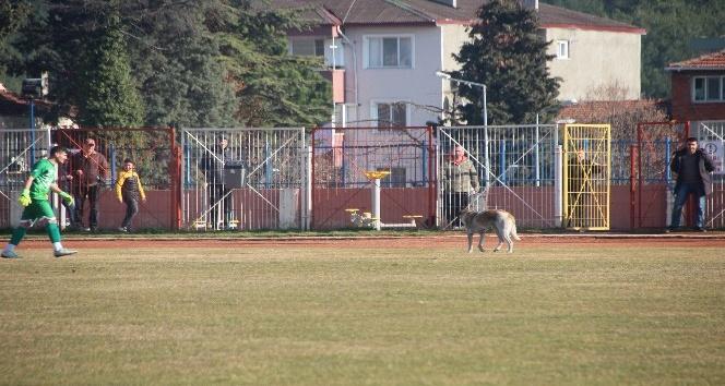 Her maçta sahaya giren köpek maçın durmasına sebep oluyor